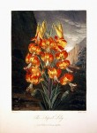 The Superb Lily - John Thorntonc. 1812