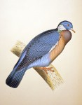 Original guache painting - Wood Pigeon - c. 1870