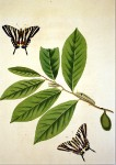 Swallow-tail butterflies - John Abbot 1797