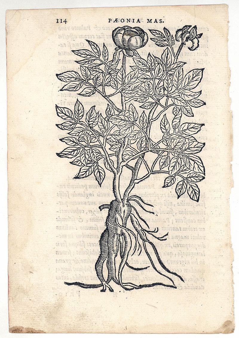 Botanical Illustrations | katieturnerartblog  |Botanical Woodcut